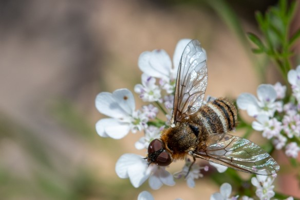 Wild Pollinator Count - Spring